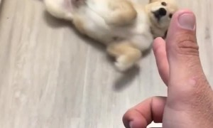Puppy plays dead