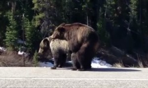 Bears Block Road Breed