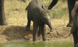 Clumsy baby elephant falls into watering hole