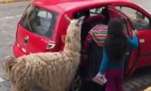 Llama casually steps into taxi cab for ride