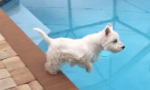 Westie dog demonstrates perfect diving form