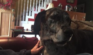 Great Dane isn't happy when dinner plans change
