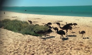 Emu Father Takes Family to the Beach
