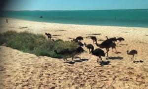 Emu Father Takes Family to the Beach