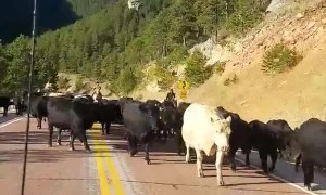 Cows Corralled down Road