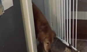 Cat Politely Opens Gate for Golden Retriever