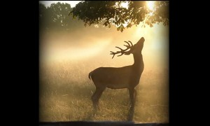 Young Stag Enjoys a Misty Summer Dawn