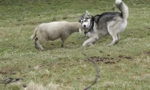 Energetic lamb enjoys playtime with husky best friend