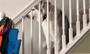 Stubborn husky vocally protests walk time while sitting on steps
