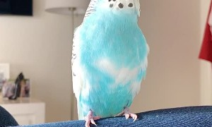 Beat Boxing Blue Budgie