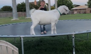 Boy Bounces with Billy Goat Best Friend