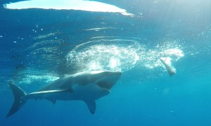 Great White shark attempts to bite through diver's cage
