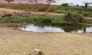 Charging lion attempts to catch gazelle off guard