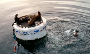 Sea Lions Won't Share Resting Place