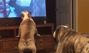 Bulldogs frantically warn dogs on TV of danger
