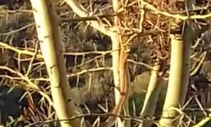 Snake Steals From Bird's Nest