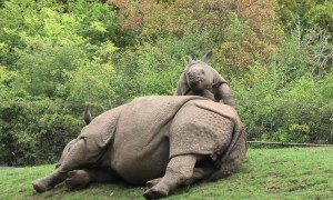 Energetic baby rhino adorably begs mom to play