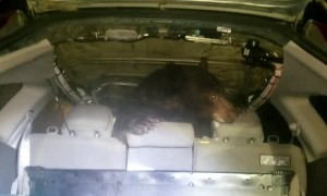 Bear Caught Inside of Car