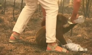 Woman saves distressed koala from bushfire with shirt off her back
