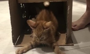 Ginger Kitten Plays Knock Knock