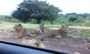 Scary moment shows wild lion opening tourist car door