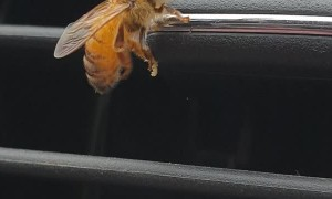 Helping a Drenched Bee Dry Off