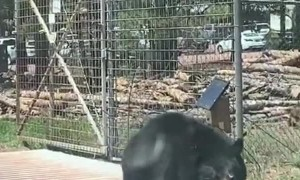Bear Tries to Get Through Gate