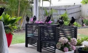 Kicking Back with a Family of Magpies