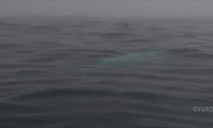 Extremely rare white orca whale spotted