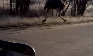 Ostrich Runs Along Car on Road