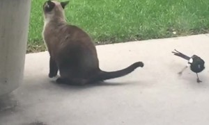 Magpie Grabs Cat by the Tail