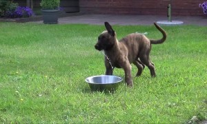 Puppy's adorably confused when trying to figure out water bowl