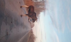 Elk Attacks Car on Highway
