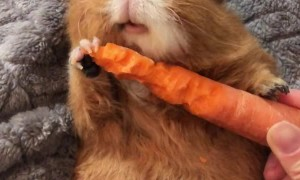 Guinea Pig Crunches Through Carrot
