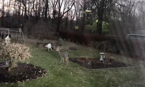 Albino Deer Wanders Into Backyard With Pals