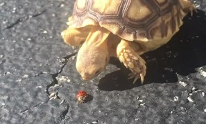 Tortoise Tries to Catch Ladybug