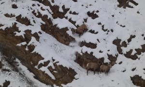 Rams Knock Horns Over Ewe