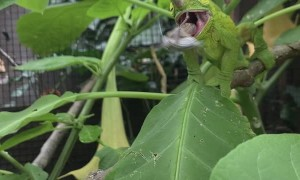 Three-Horned Chameleon Tags Snack with Lightning-Fast Tongue