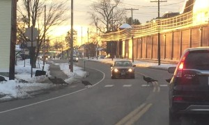 Turkey's Leaving Concord Prison Using the Crosswalk