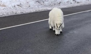Mountain Goat Road Block