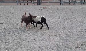 Lamb Chases Kelpie