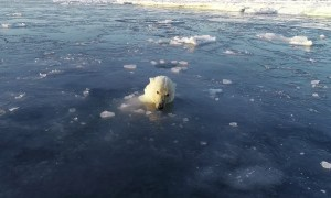 Polar Bears Hunt a Drone from Under the Ice