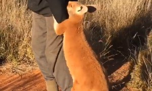 Orphaned Baby Kangaroo Won't Let Go Of His Rescuer