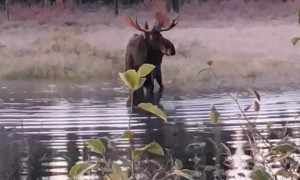 Incredibly Close Moose Encounter