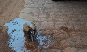 Thirsty Armadillo Is Ecstatic When Offered Water