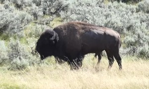 Wild Buffalo in Wyoming