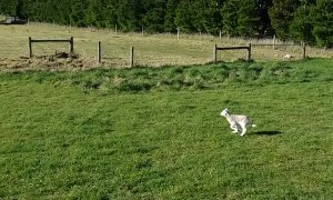 Sheep Sends Dog in Circles