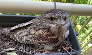 Tawny Frogmouth  Raise Chick in Herb Garden