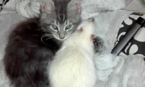 Maine Coon Kitten Grooming His Adopted Rat Brother