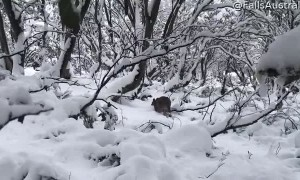 "Kangaroo Confused in ""Summer"" Weather"